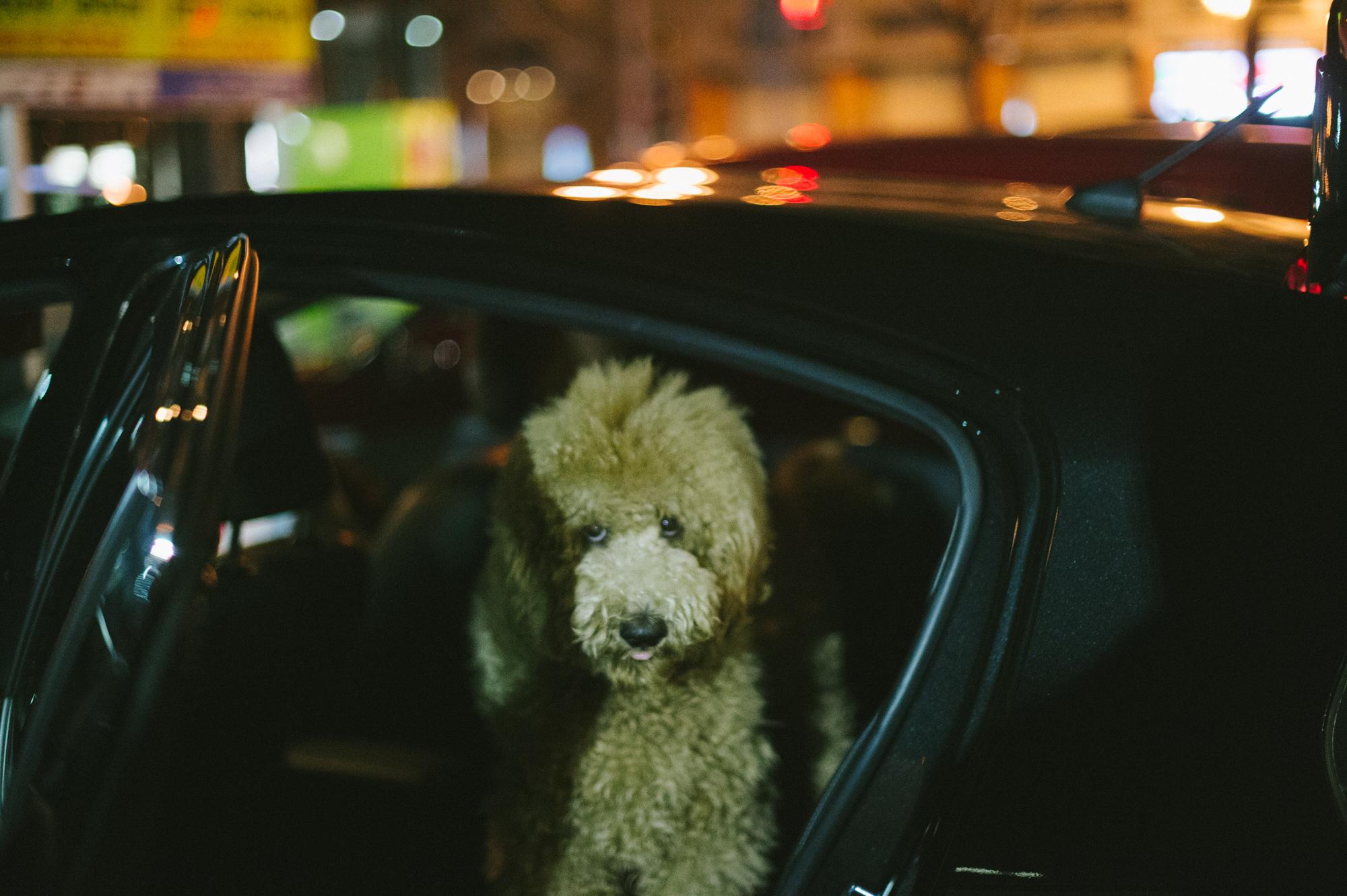 standard poodle0015